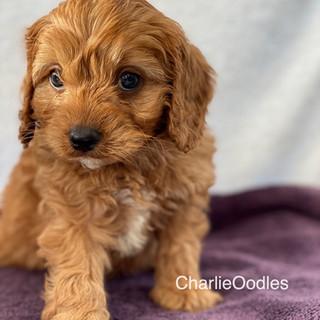 IMG_1371Doras puppies 7 weeks39.jpg