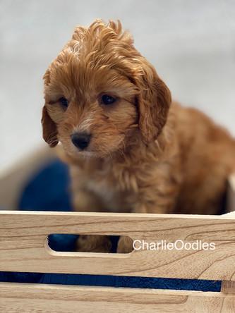 IMG_1022Dora puppies 7 weeks76.jpg