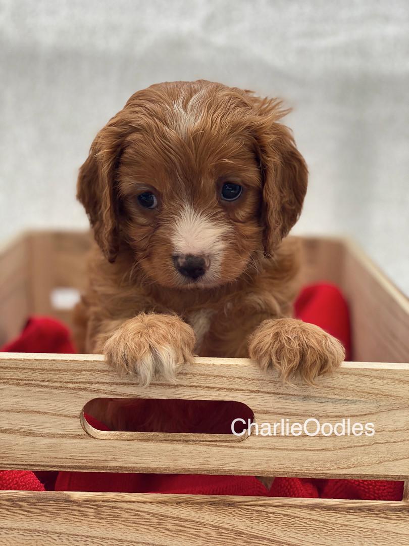 IMG_0987Dora puppies 7 weeks105.jpg