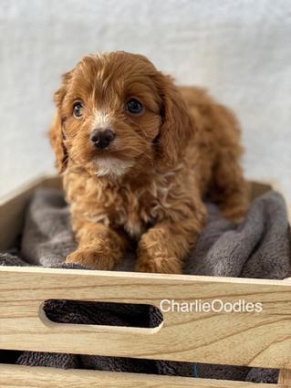 IMG_1379Doras puppies 7 weeks32.jpg