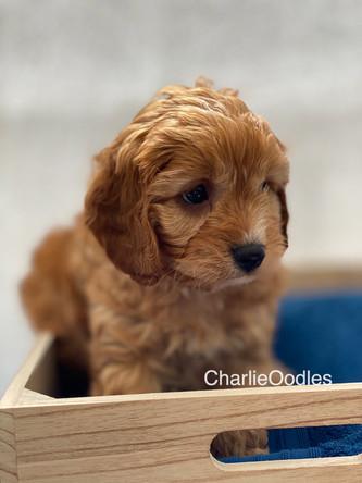IMG_1029Dora puppies 7 weeks69.jpg