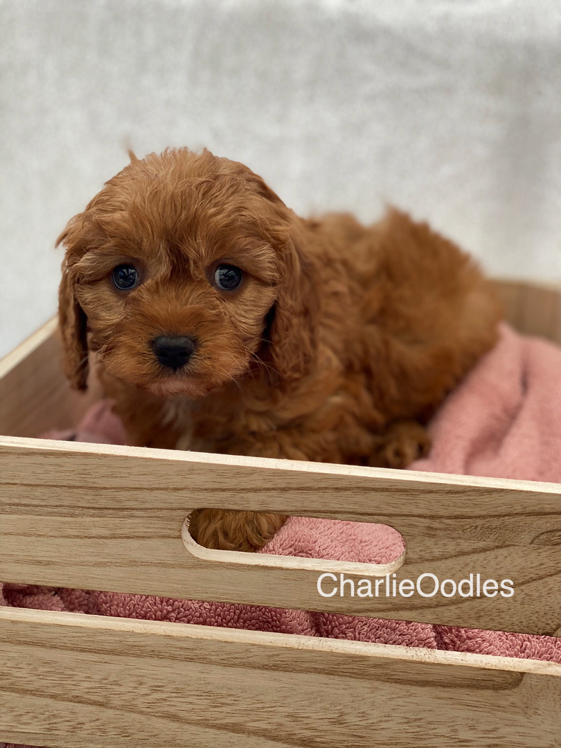 IMG_0999Dora puppies 7 weeks95.jpg