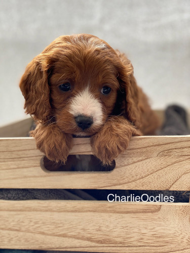 IMG_1051Dora puppies 7 weeks49.jpg