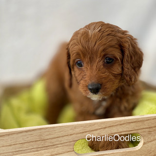 IMG_1291Doras puppies 7 weeks115.jpg