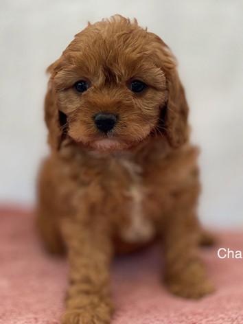 IMG_1012Dora puppies 7 weeks84.jpg