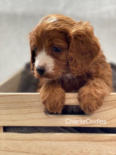 IMG_1046Dora puppies 7 weeks53.jpg