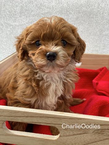 IMG_1116Minnies puppies 6 weeks119.jpg