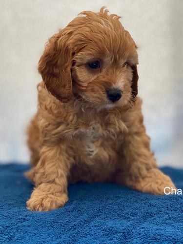 IMG_1036Dora puppies 7 weeks62.jpg