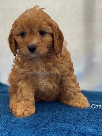 IMG_1035Dora puppies 7 weeks63.jpg
