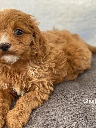 IMG_1396Doras puppies 7 weeks19.jpg