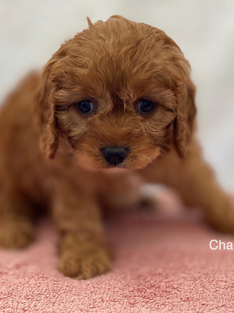 IMG_1010Dora puppies 7 weeks86.jpg