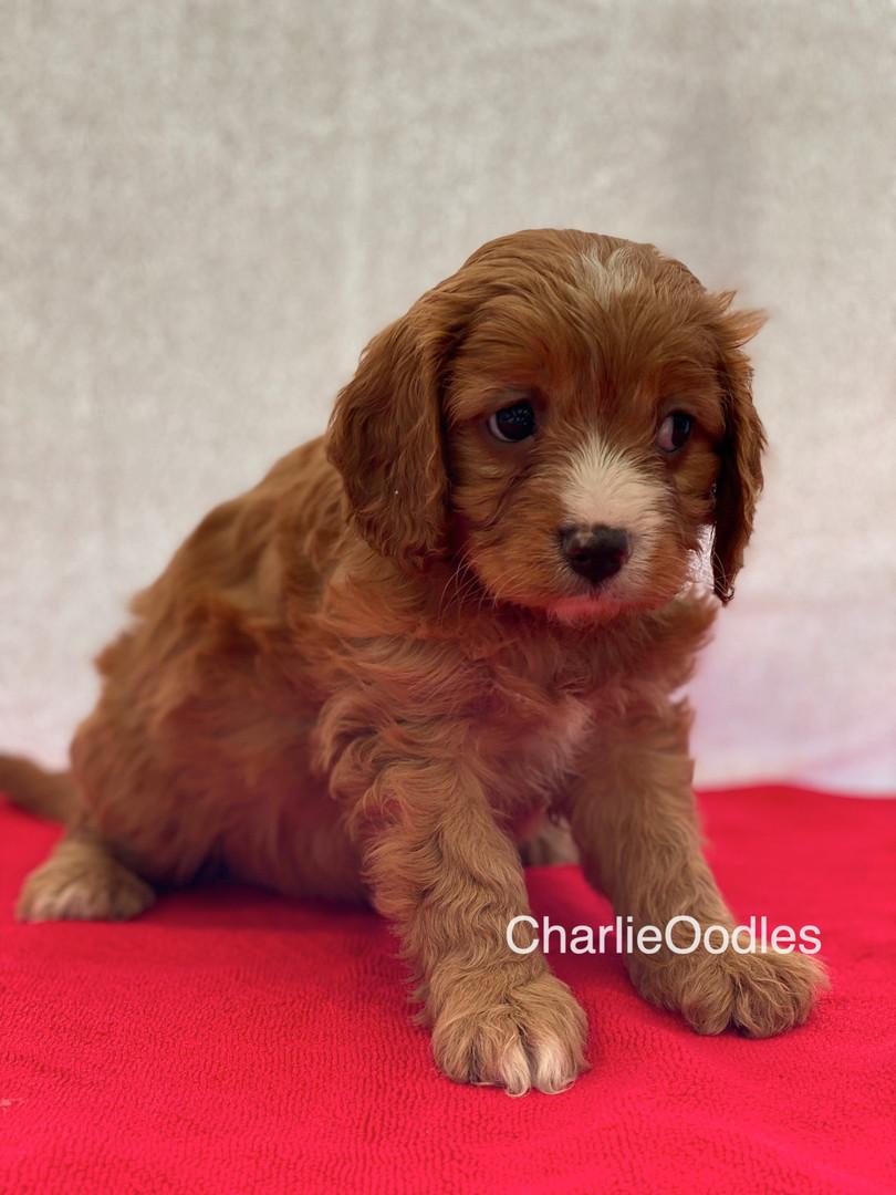 IMG_0991Dora puppies 7 weeks101.jpg