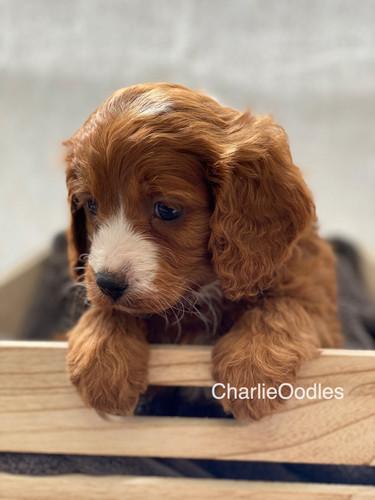 IMG_1044Dora puppies 7 weeks55.jpg