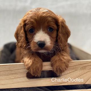 IMG_1049Dora puppies 7 weeks50.jpg