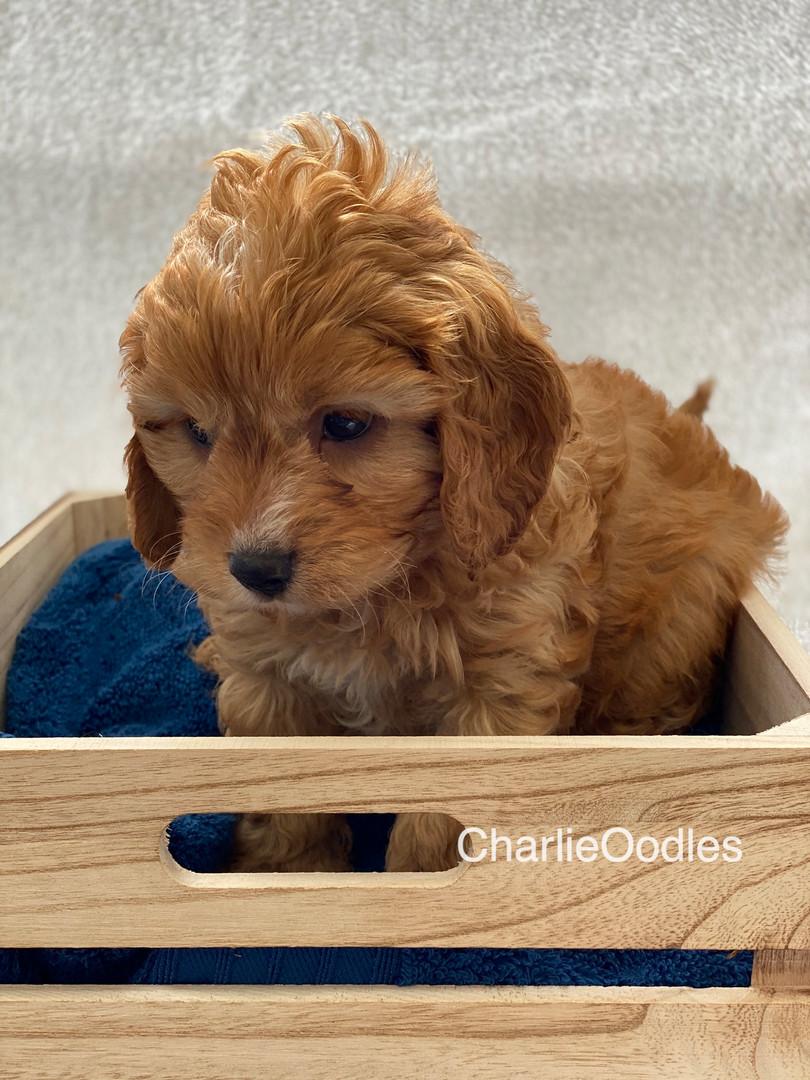 IMG_1020Dora puppies 7 weeks78.jpg