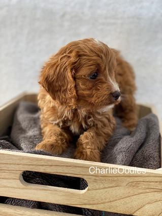 IMG_1376 2Doras puppies 7 weeks34.jpg