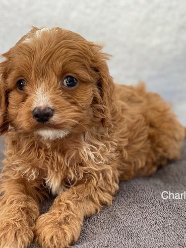 IMG_1393Doras puppies 7 weeks22.jpg