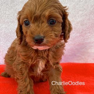 IMG_1327Doras puppies 7 weeks81.jpg