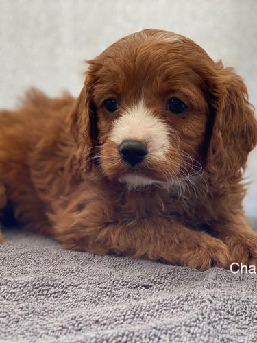 IMG_1056Dora puppies 7 weeks44.jpg