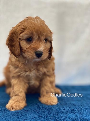 IMG_1041Dora puppies 7 weeks57.jpg