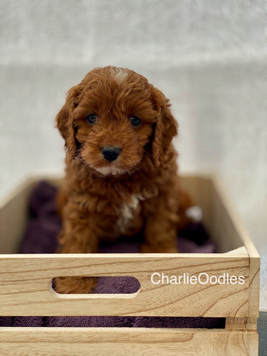 IMG_1094Dora puppies 7 weeks7.jpg