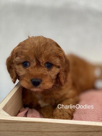 IMG_1007Dora puppies 7 weeks89.jpg
