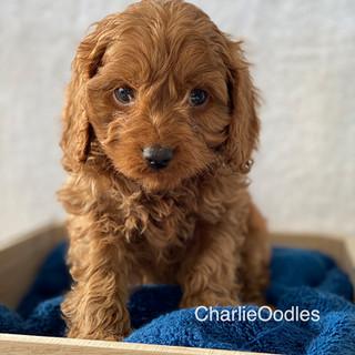 IMG_1402Doras puppies 7 weeks14.jpg