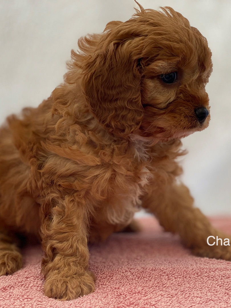 IMG_1011Dora puppies 7 weeks85.jpg