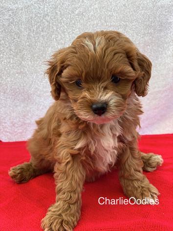 IMG_1122Minnies puppies 6 weeks115.jpg