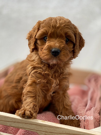 IMG_1137Minnies puppies 6 weeks101.jpg