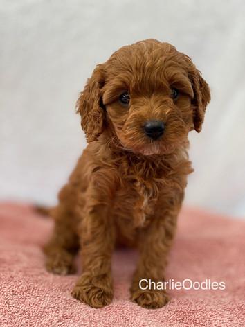 IMG_1152Minnies puppies 6 weeks86.jpg