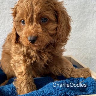 IMG_1403Doras puppies 7 weeks13.jpg