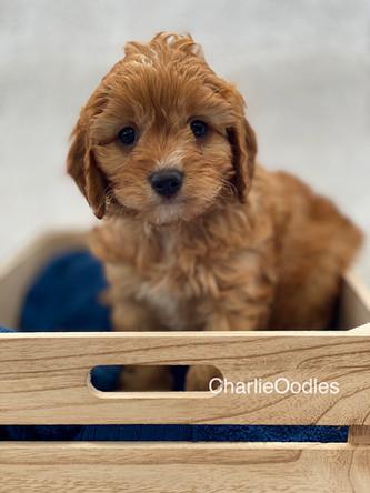 IMG_1023Dora puppies 7 weeks75.jpg