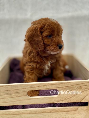 IMG_1095Dora puppies 7 weeks6.jpg