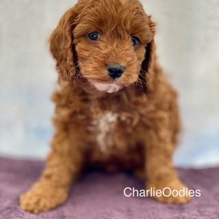 IMG_1106Dora puppies 7 weeks1.jpg