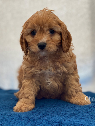IMG_1037Dora puppies 7 weeks61.jpg