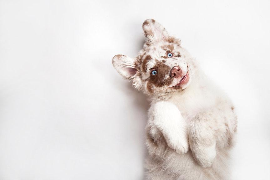 Funny studio portrait of the smilling puppy dog Australian Shepherd lying on the white bac