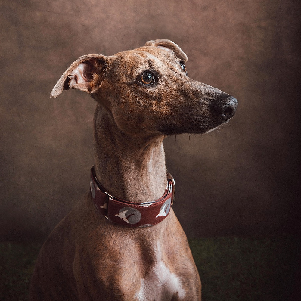 Professional pet portrait whippet by de lumiere photography