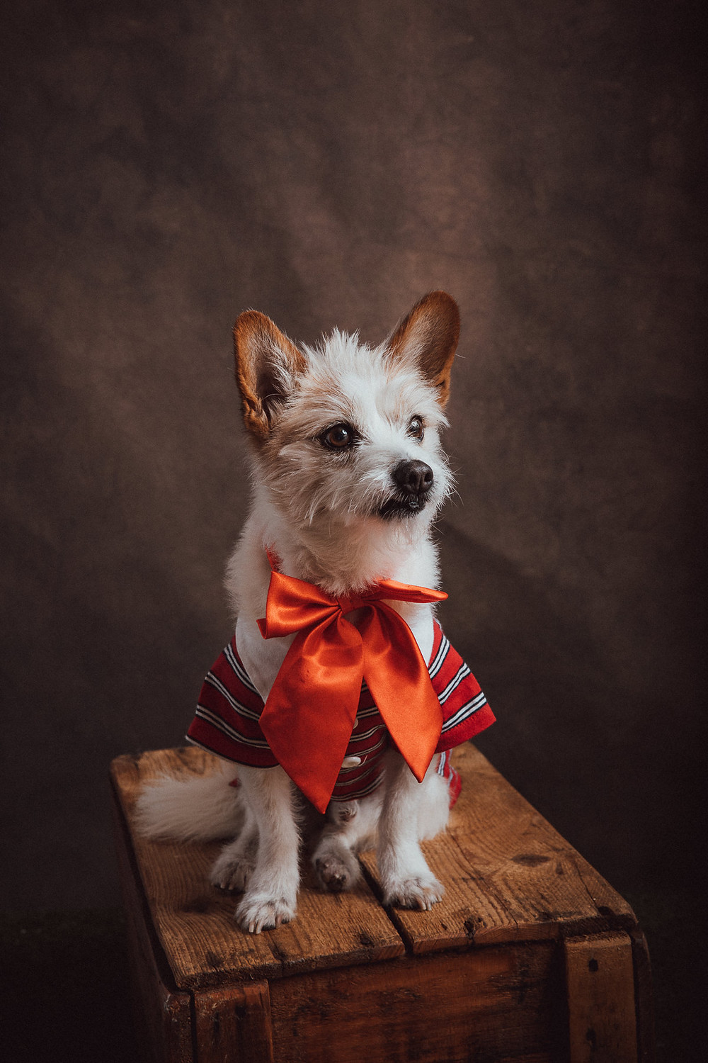 Professional pet portrait scruffy dog by de lumiere photography