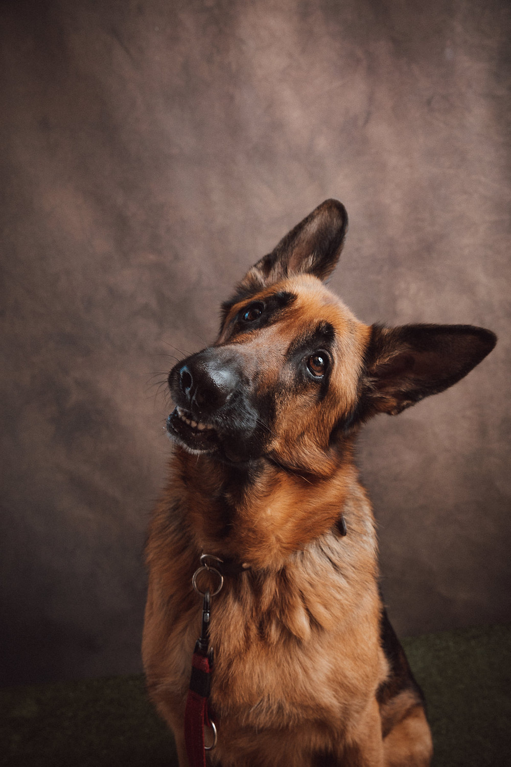 Professional pet portrait german shepherd by de lumiere photography