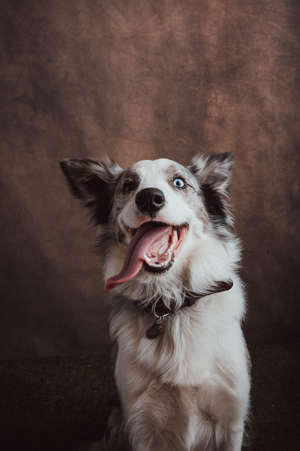 Professional pet portrait australian shepherd by de lumiere photography