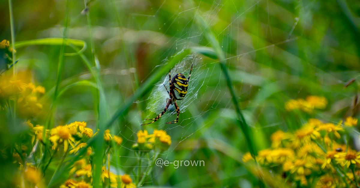 tijgerspin