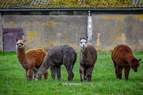 Alpacas (1 of 1).jpg