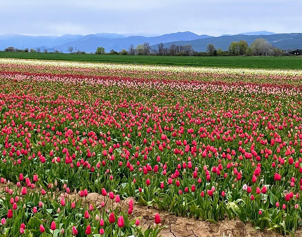 tulipes multi-couleurs a 15 minutes en voiture de la Villa Saint Marc