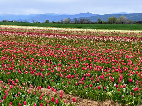 Des Tulipes à perte de vue :