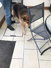 DOG SNIFFING A CHAIR.JPG