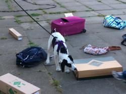 Scentwork dog2