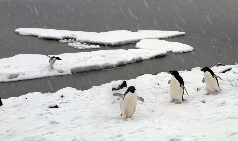 Adele Penguins in Antarctica