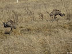 Freeliving Emus