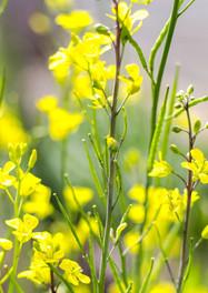Mustard / Moutarde